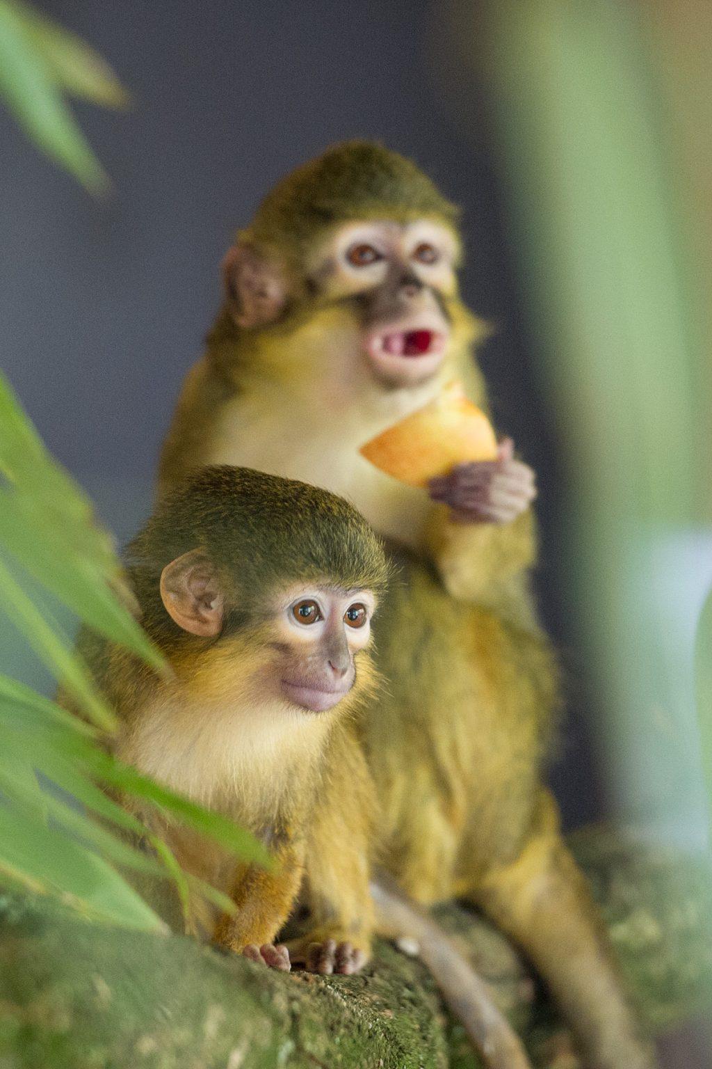 Apenheul krijgt nieuwe apensoort