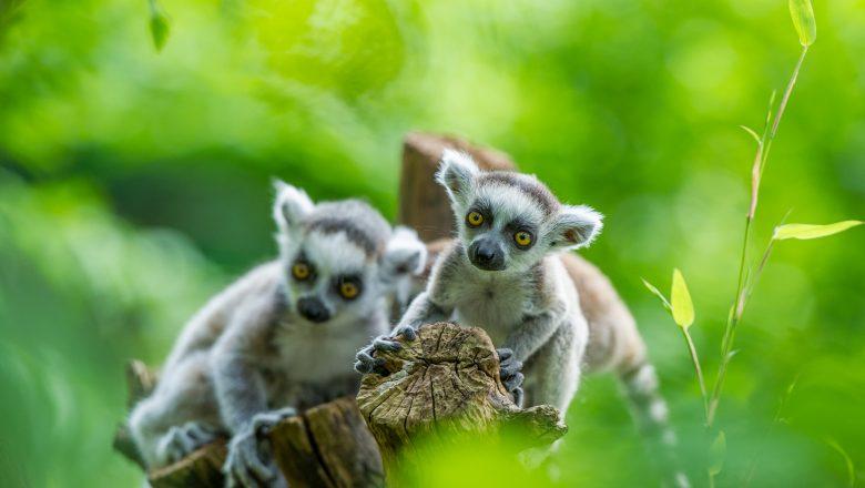 Apenheul in top 3 meest geliefde attractieparken