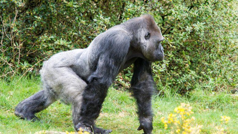 Gorillababy in Apenheul op komst: zilverrug Bao Bao zorgt voor zijn eerste nakomeling!