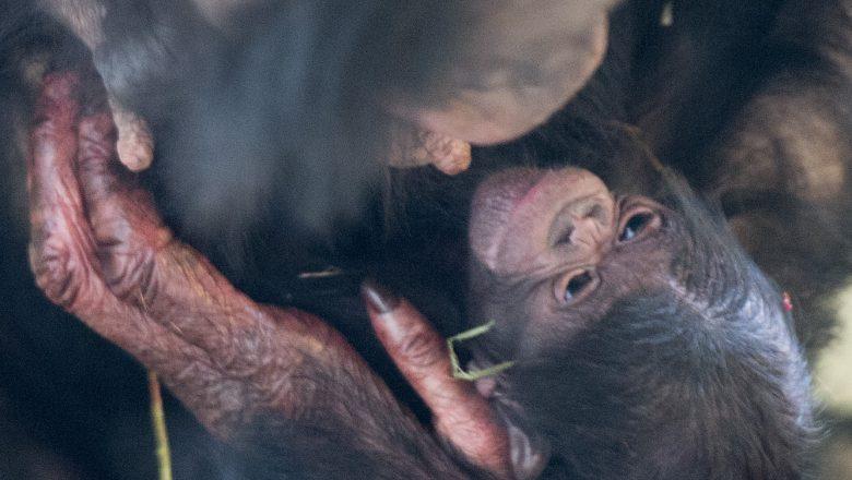 Bonobo geboren in Apenheul!