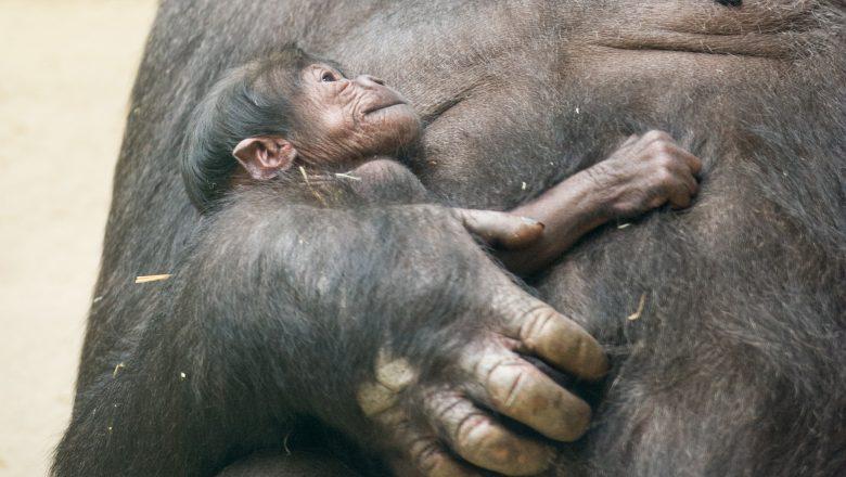50e gorilla geboren in Apenheul tijdens 50-jarig jubileum!