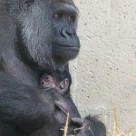Naamverkiezing voor de 50e gorillababy van Apenheul