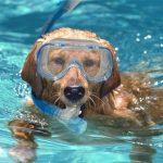 Ook dit jaar weer hondenzwemmen in het Boschbad